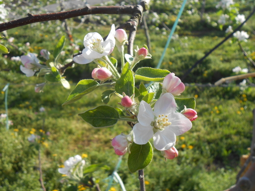 リンゴ4.JPG