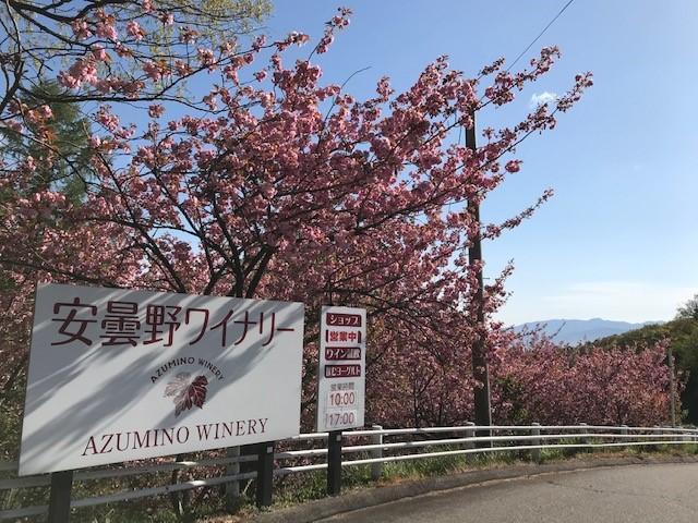 八重桜全体.jpg